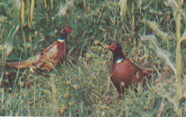 Ring-Necked Pheasant - Greetings from Roxsbury, New York - pm 1956 at Roxbury NY