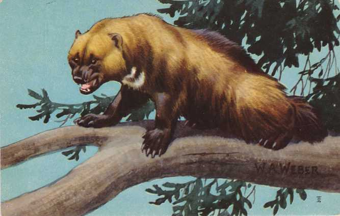 Wolverine - Large Weasel - Artist W. A. Weber