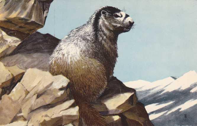 Animal - Hoary Marmot - Artist Maynard Reece