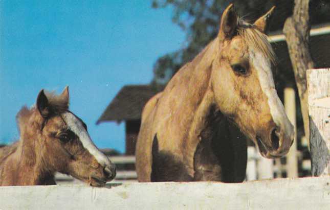 Horse - Palamino Beauty and Colt