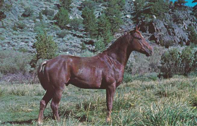 Purebred Quarter Horse Stallion