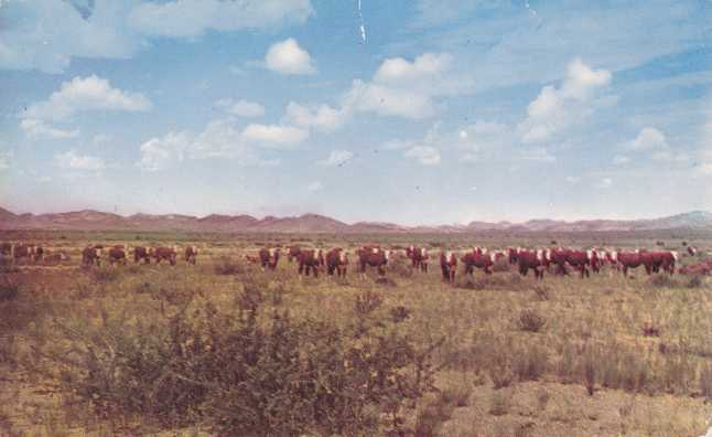 White Face Cattle - Large Cattle Ranch - pm 1958 at Gila, AZ