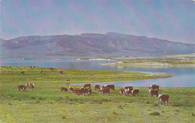 Cattle on the Range in Utah - Ranch