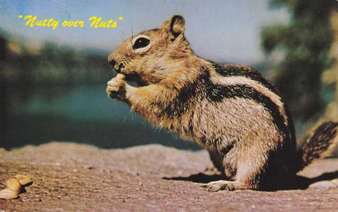 Ground Squirrel - Chipmunk - Nutty over Nuts