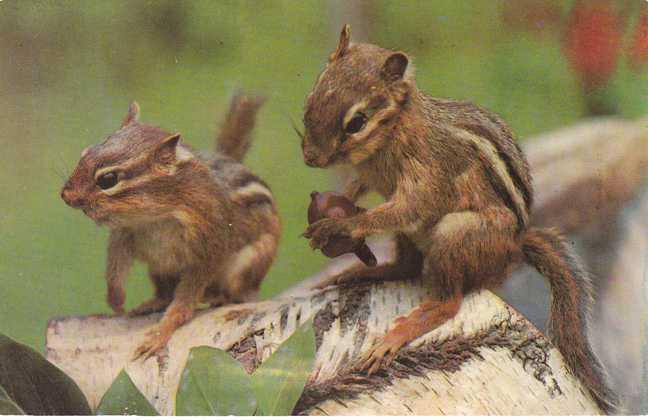 Pair of Chipmunks gathering Acorns - pm 1972