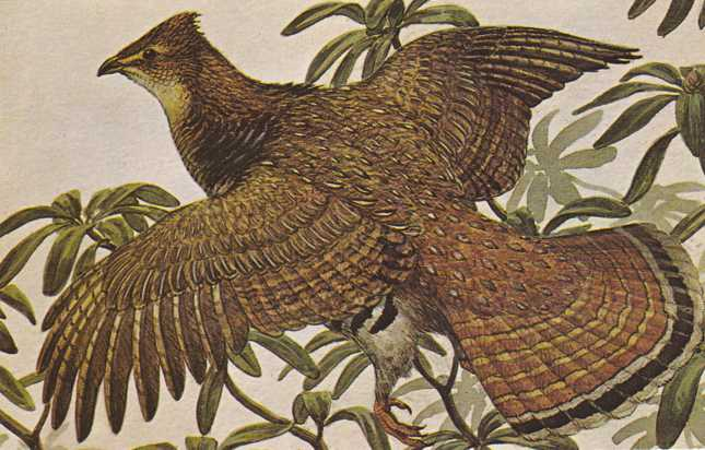 Ruffed Grouse - State Game Bird of Pennsylvania