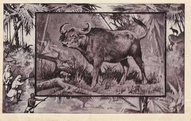 African Buffalo - Animal - Copyright 1909 M J Mintz of Chicago - Divided Back
