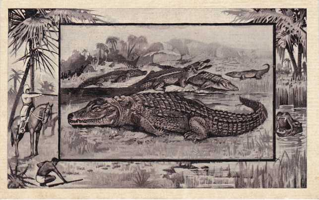 Crocodile - Africa Animal - Copyright 1909 M J Mintz of Chicago - Divided Back