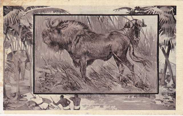 The Gnu - Africa Animal - Copyright 1909 M J Mintz of Chicago - Divided Back