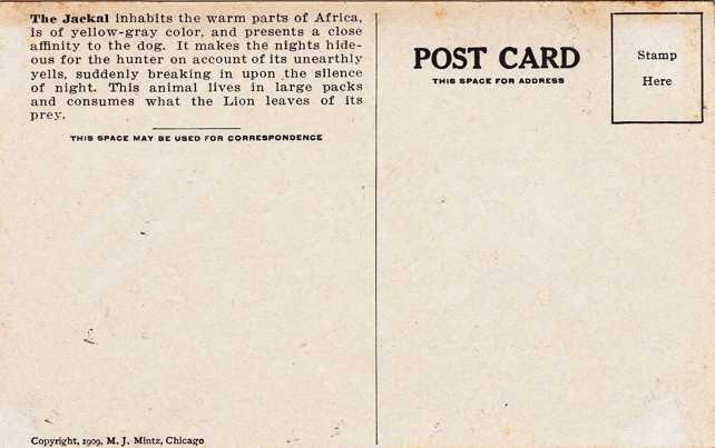 The Jackal - Africa Animal - Copyright 1909 M J Mintz of Chicago - Divided Back