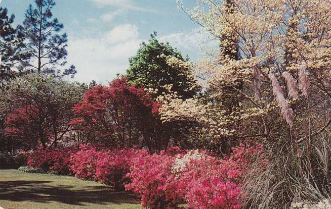 Springtime Flowers in the South - White Dogwood and Azaleas - pm 1961 at Winter