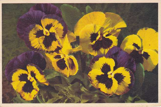 Tricolor Pansy Flower - pm 1949 - Alfred Mainzer Card