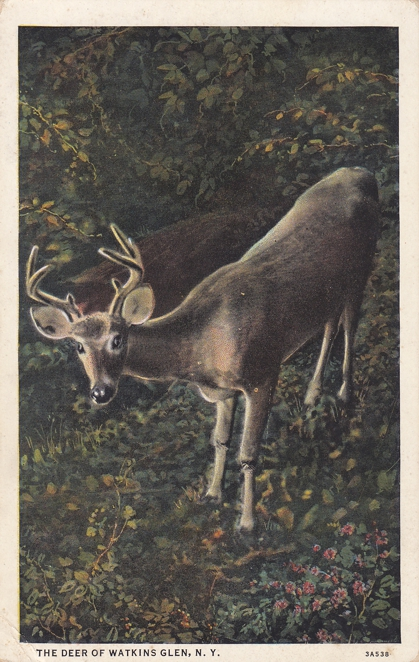 The Deer of Watkins Glen, New York - White Border