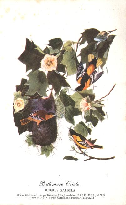 Baltimore Oriole - Icterus Galbula - Audubon Bird Drawing - pm 1951