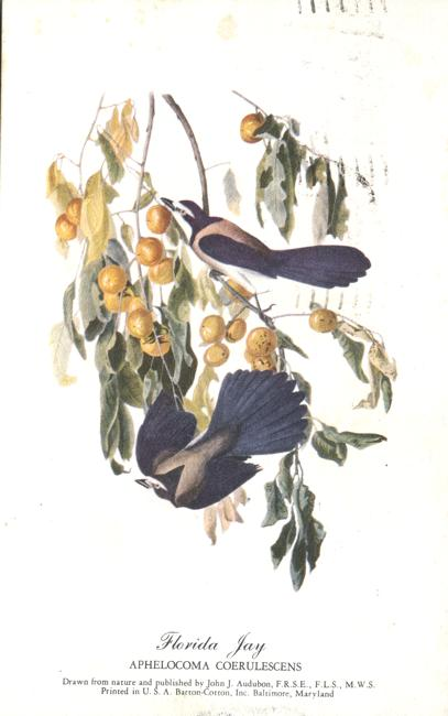 Florida Jay - Aphelocoma Coerulescens - Audubon Bird Drawing - pm 1951