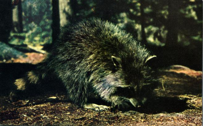 Raccoon - Wildlife in Algonquin Park, Ontario, Canada - pm 1972 at Barry's