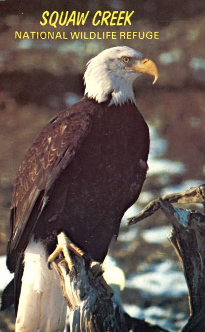 Bald Eagle at Squaw Creek Wildlife Refuge - Mound City, Missouri