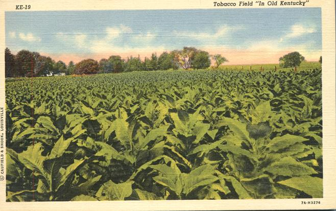 Tobacco Field in Old Kentucky - Agriculture Cultivation - Linen Card