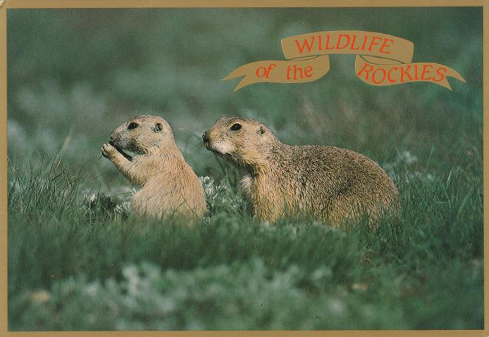 Blacktailed Prairie Dogs - Wildlife of the Rockies, Colorado