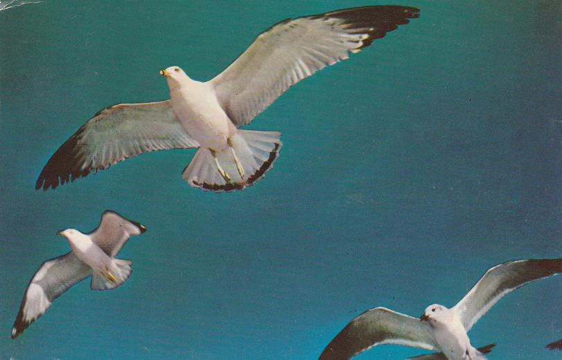 Sea Gulls Flight in Blue Heaven - Birds - pm 1964