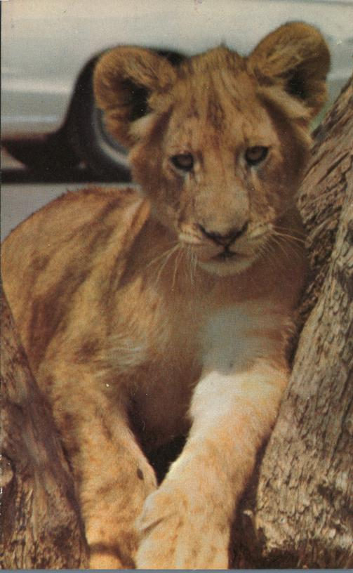 Young Male Lion at North Carolina Zoological Park - Animal