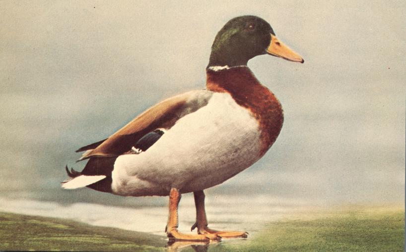 Male Mallard Duck - Anas Platyrhynchos - Bird