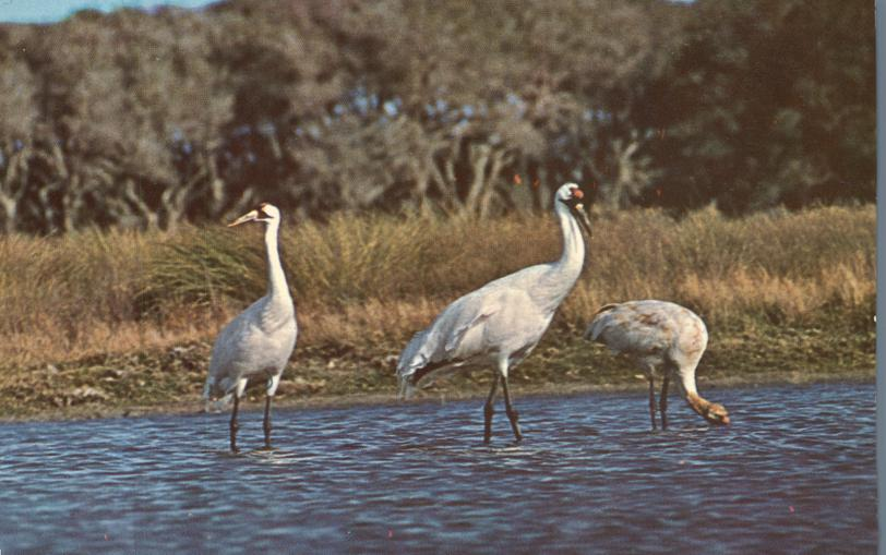 Rarely Seen Whooping Cranes - US's Tallest Bird