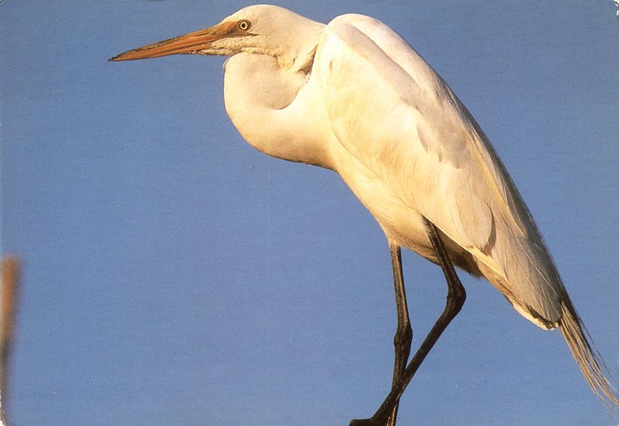 Great Egret Bird - Also called White Heron