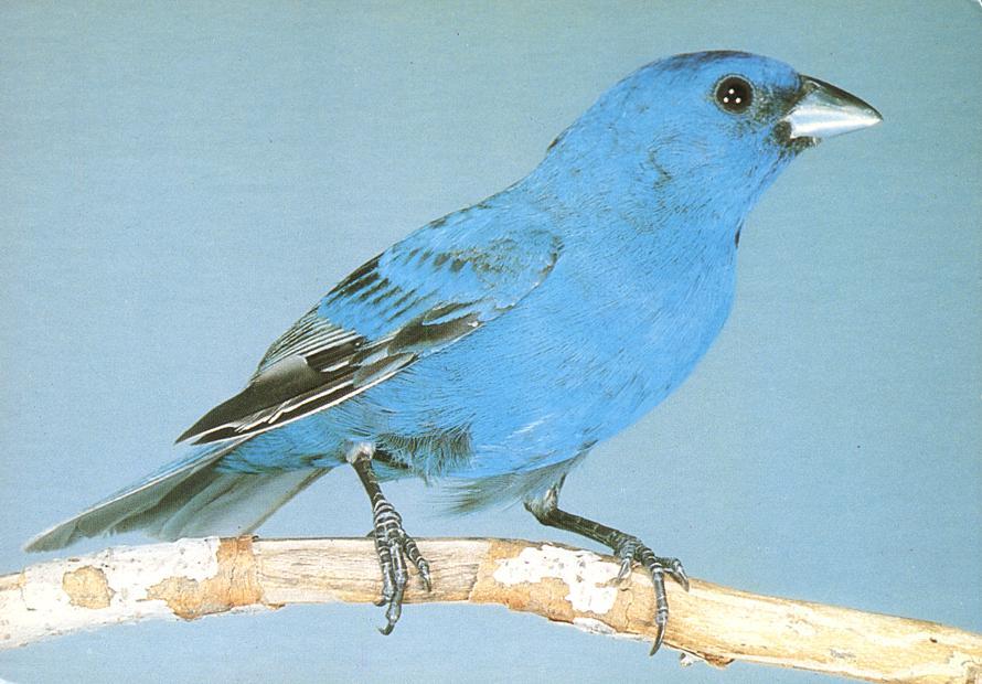 Indigo Bunting Bird - Member of the Finch Family