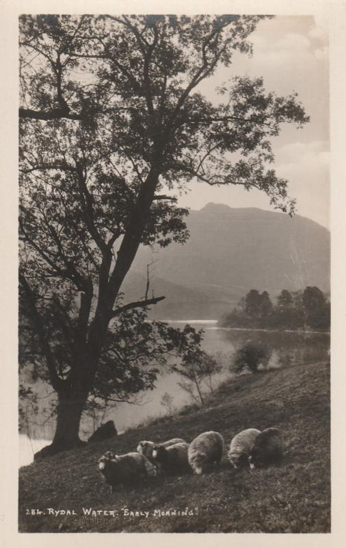 RPPC Sheep in Ealry Morning - Rydal Water, Cumbria, England - Real Photo