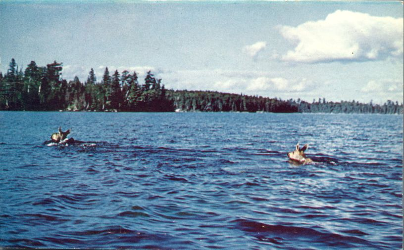 Cow Moose and Calf Crossing a Wilderness Lake - Ontario, Canada - pm 1961