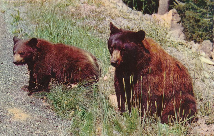Two American Black Bears - Animal