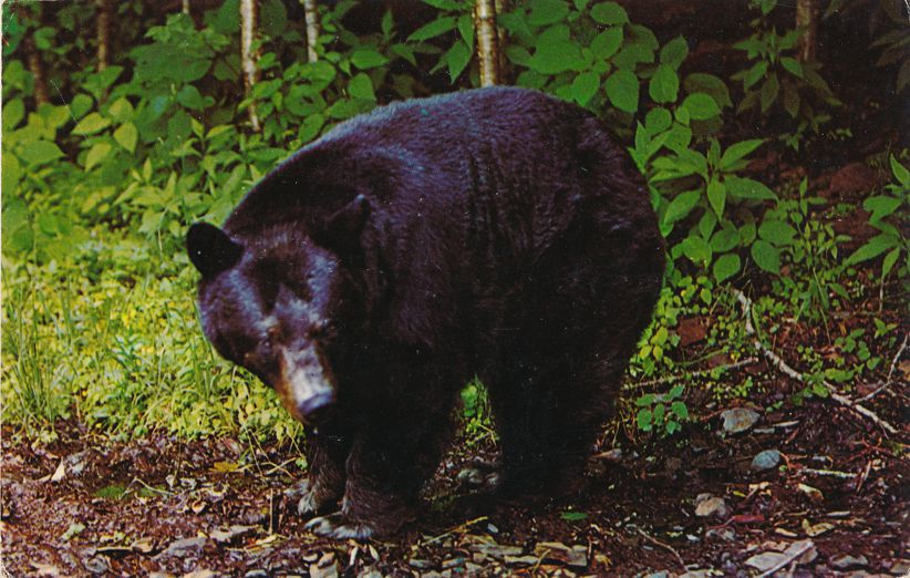 An American Black Bear - Animal