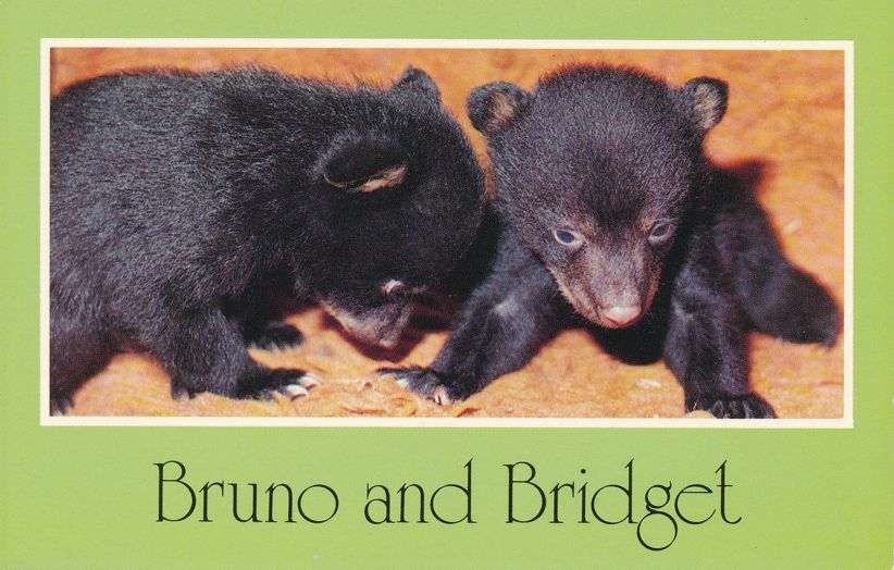 Bruno and Bridget - Five Week old Black Bear Cubs - Animal