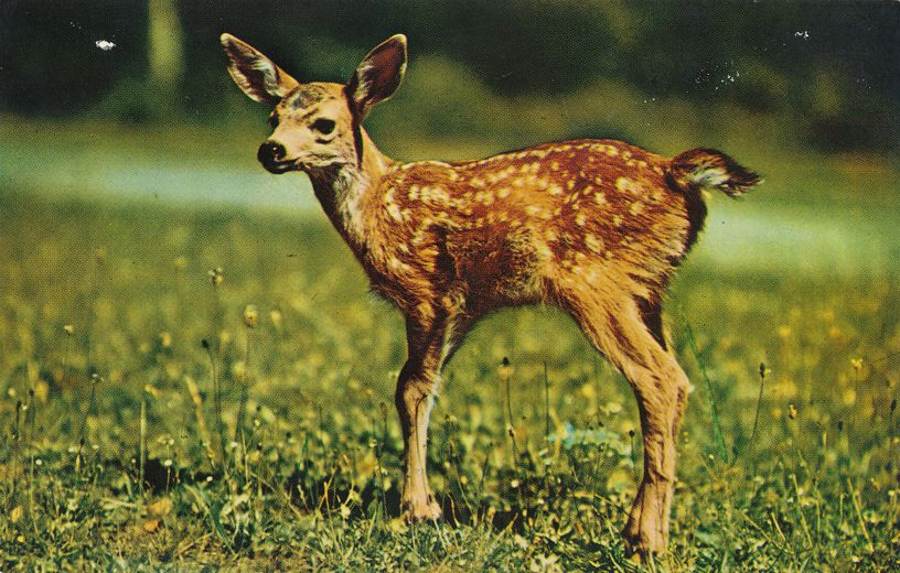 A Little Deer Sends Greetings - Fawn - Animal