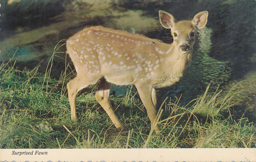 Surprised Fawn - Startled Deer - Animal