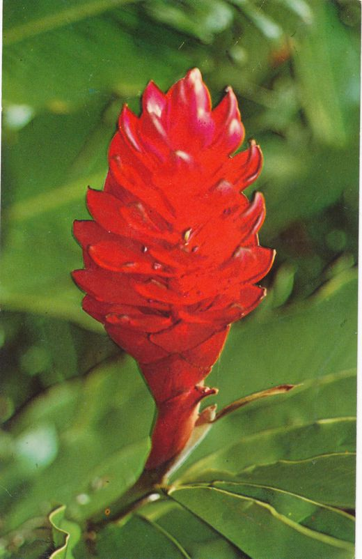 Torch Ginger - Tropical Flower shown in Agana, Guam - Pacific Ocean Area