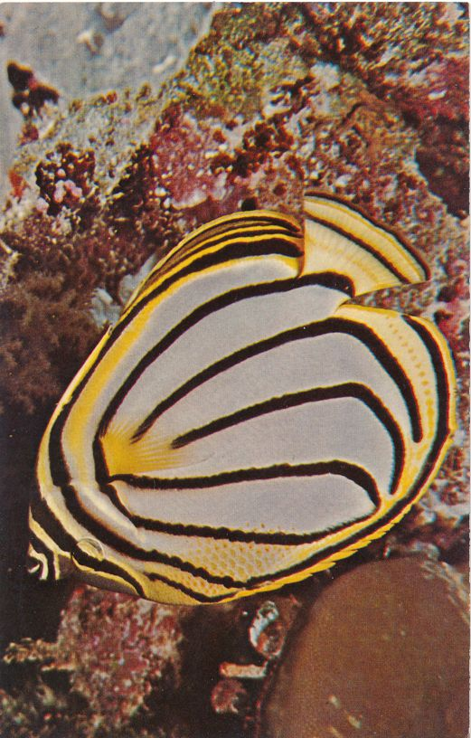 Picasso Butterfly Reef Fish photographed in Palau - Island country in Western Pacific Ocean
