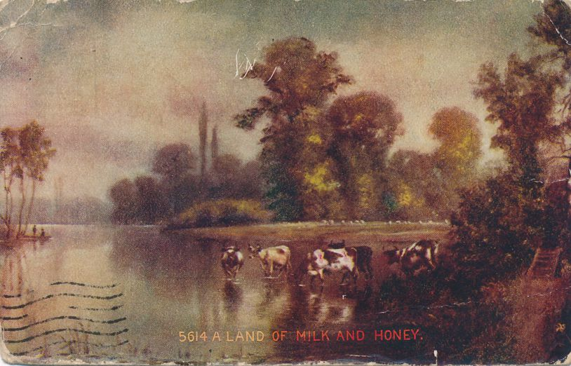 Cows in Stream - A Land of Milk and Honey - DPO 1909 at Barnard NY - Divided Back
